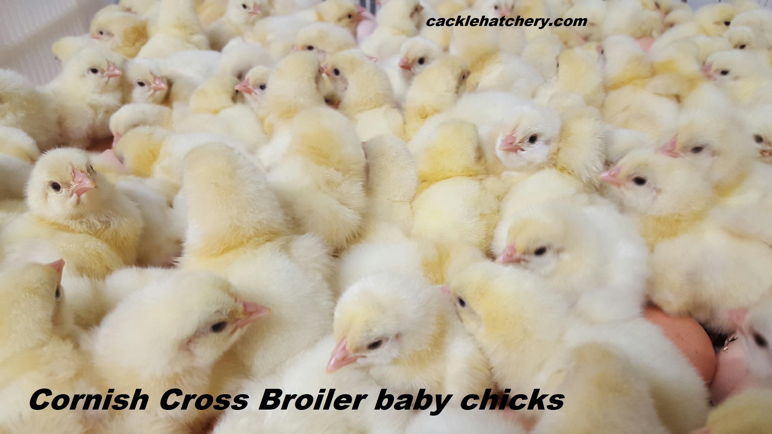 jumbo cornish cross chicken
