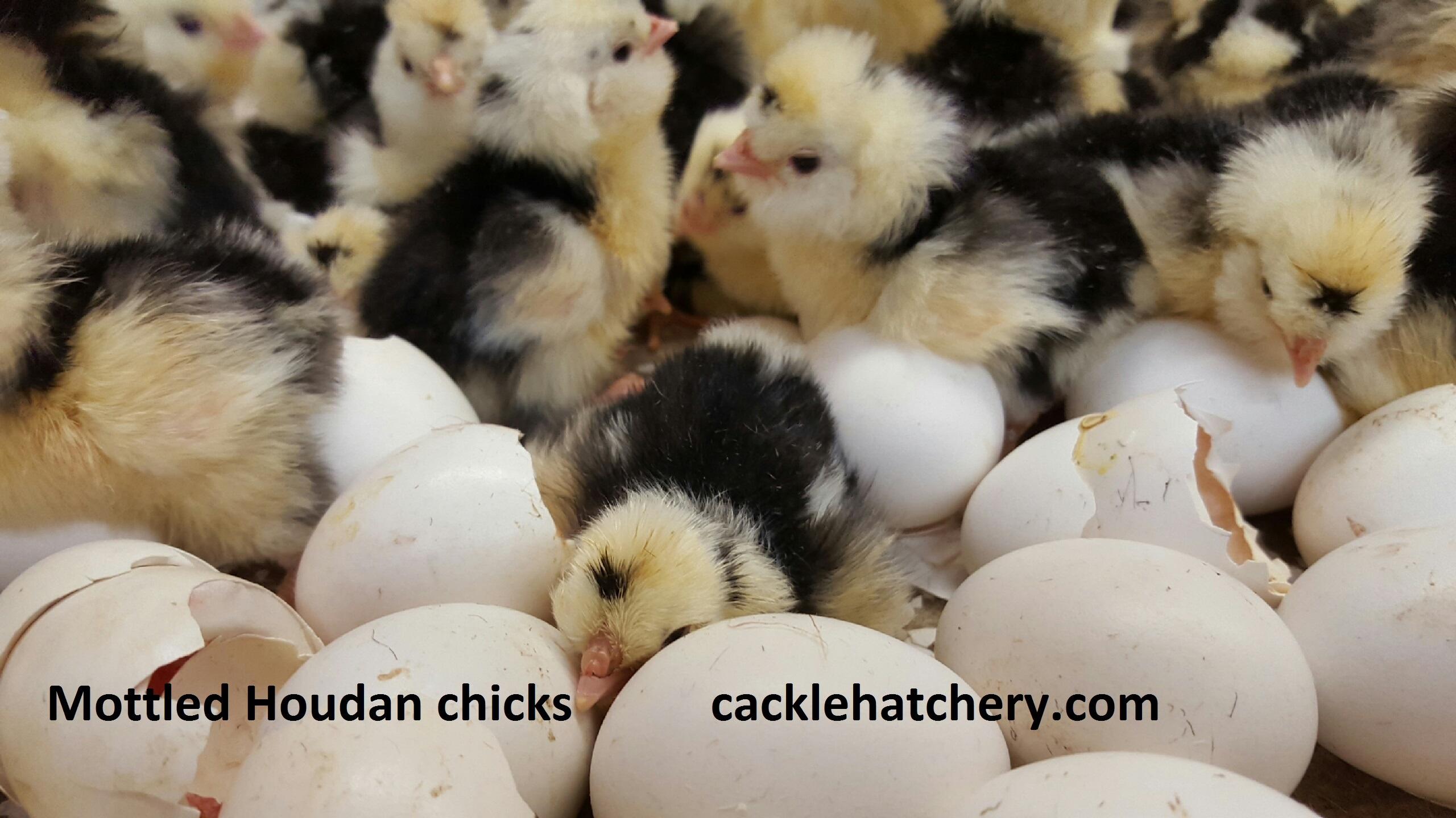 Fresh Quail Eggs Sale