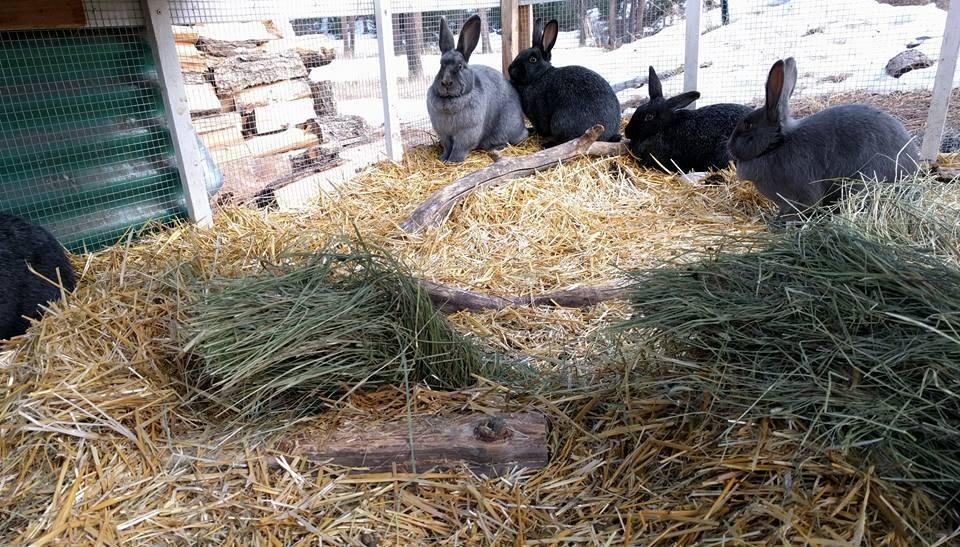 Raising Meat Rabbits in Colonies