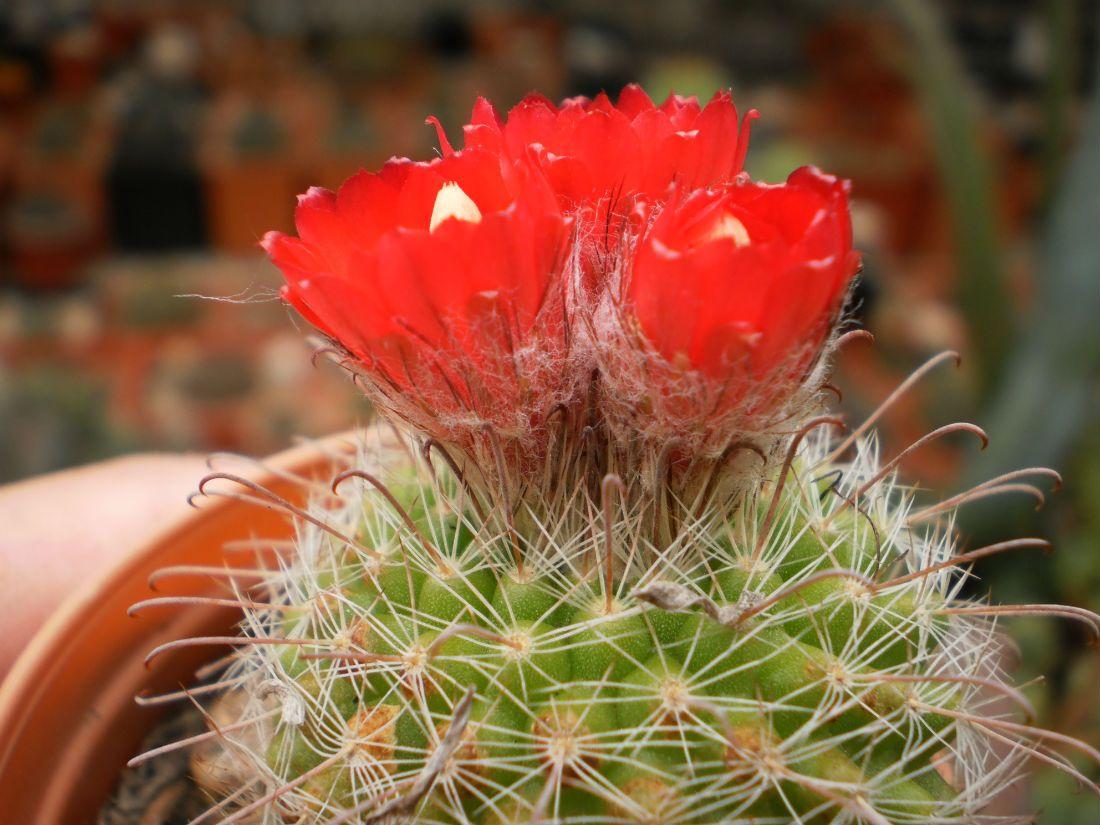 Parodia Cactuseros