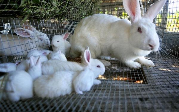 Incrementarán cría de conejos en el camagüeyano municipio de Florida