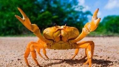 Photo of Cangrejo mutante: descubrieron una especie hembra que se clona a sí mismas