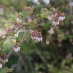 因果律・ブルーベリーの花