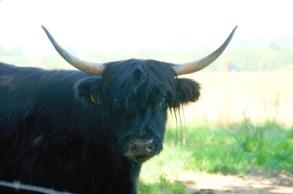 Schotse hoogland runderen
