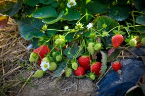 aardbeienplant