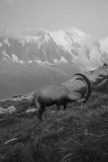 Alpensteenbok