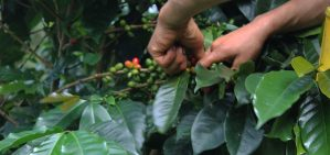 Café las margaritas, café especial, café de origen finca, café de especialidad, colombiano
