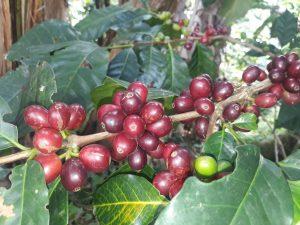Café de finca, origen, las margaritas, palo de café, Quindio Colombia