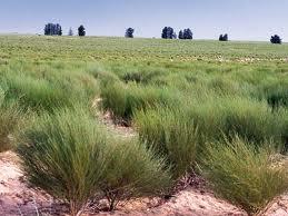 Plantación de Rooibos