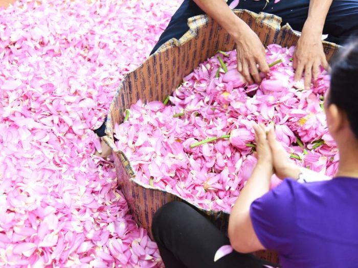 seleccionando flores de loto para hacer té en Vietnam