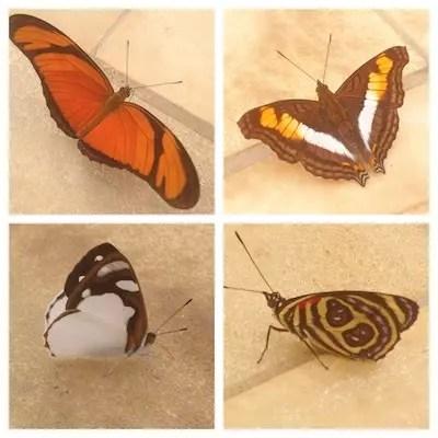 borboletas, muitas borboletas...