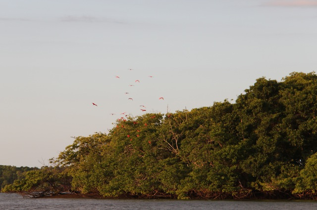 A ilha da revoada dos guarás