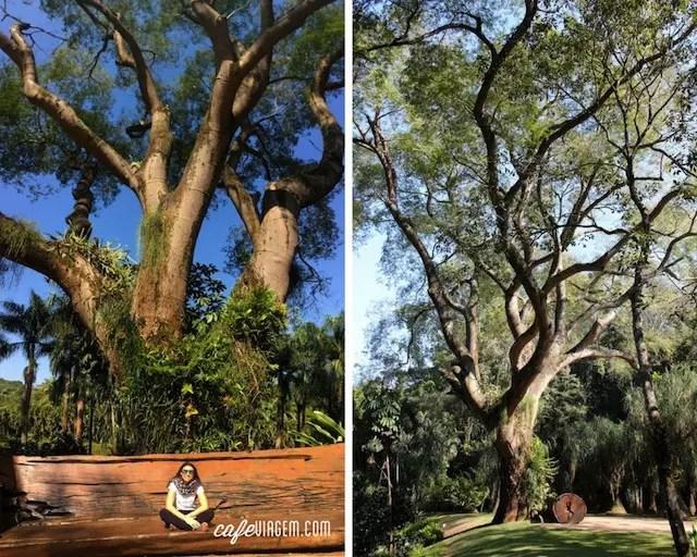 O coração e símbolo de Inhotim: a centenária árvore Tamboril