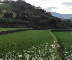 Rice is another agricultural product of Peru. The fields are beautifully green on the landscape.