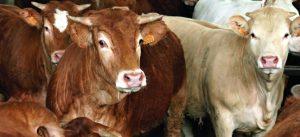 Zootecnia: ulteriori sostegni per la filiera suinicola e del vitellone