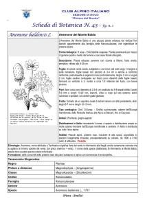 Scheda di Botanica n. 43 Anemone baldensis fg. 1 - Piera, Emilio