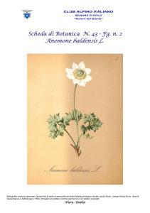 Scheda di Botanica n. 43 Anemone baldensis fg. 2 - Piera, Emilio