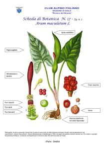 Arum maculatum fg. 2