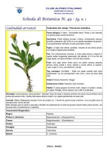 Scheda di Botanica n. 49 Calendula arvensis fg.1 - Piera, Emilio