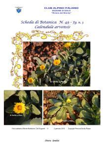 Scheda di Botanica n. 49 Calendula arvensis fg.3 - Piera, Emilio