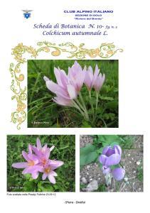 Colchicum autumnale fg. 3