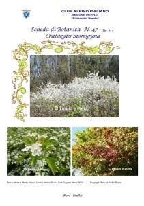 Scheda di Botanica n. 47 Crataegus monogyna fg. 3 - Piera, Emilio