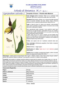 Cypripedium calceolus fg. 1