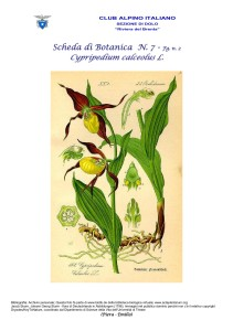 Cypripedium calceolus fg. 2