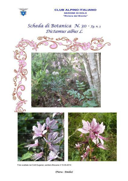 Scheda n. 30 - Dictamus albus 3