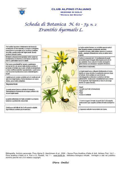 Scheda di Botanica N. 61 Eranthis hyemalis fg. 2 - Piera Emilio