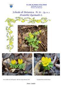 Scheda di Botanica N. 61 Eranthis hyemalis fg. 3 - Piera Emilio