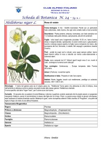 Helleborus niger fg. 1