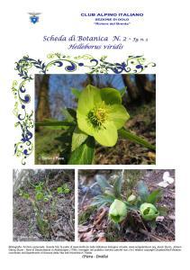 Helleborus viridis fg. 3