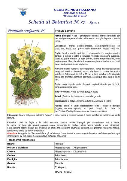 Scheda di Botanica n. 37 Primula vulgaris fg.1 - Piera, Emilio