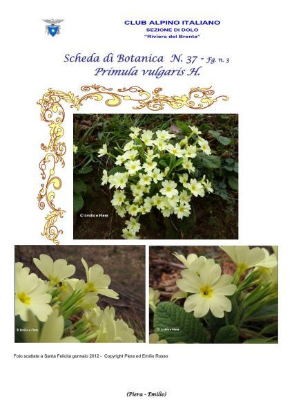 Scheda di Botanica n. 37 Primula vulgaris fg. 3 - Piera, Emilio