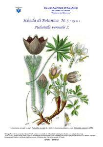 Pulsatilla vernalis fg. 3