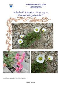 Scheda di Botanica n. 36 Ranunculus glacialis - Piera, Emilio