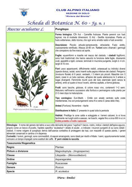 Scheda di Botanica N. 60 Ruscus aculeatus fg.1 - Piera, Emilio