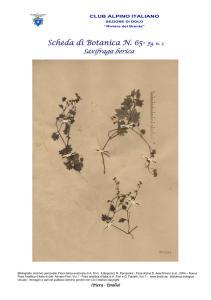 Scheda di Botanica n. 65 Saxifraga berica fg. 2 - Piera, Emilio
