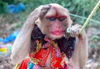 maimuță rujată