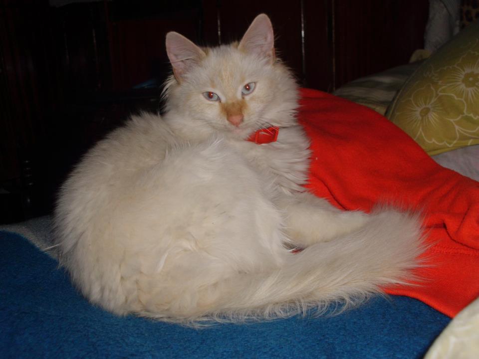 pisică albă