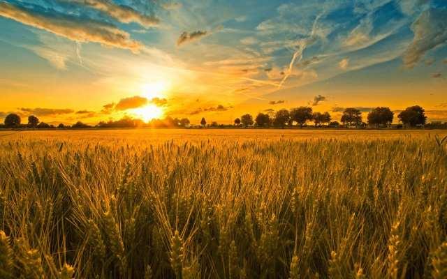a Harvest Field full of corn