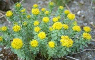 rhodiola rosea - 'Lus nan Laoch' - the hero's plant