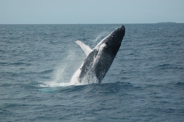 Image result for humpback whales surfacing pictures