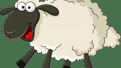 عيد الأضحى المبارك.. نصائح لشراء خروف العيد