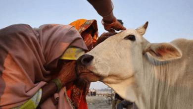 Photo of يشربون بول البقر.. طقوس غريبة يمارسها الهنود لمحاربة فيروس كورونا