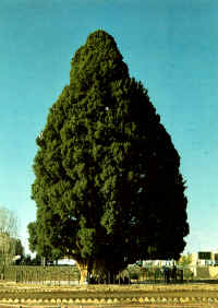 The cypress tree is located in the Grand Mosque of Abarqu (which originally was a Zoroastrian Chahar Taqi Temple). According to local traditions, the tree was actually planted by the prophet Zarathushtra (Zoroaster) himself.