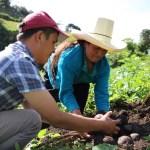 Productores de Cortegana cosecharán más de 200 toneladas de semilla de papa de alta calidad
