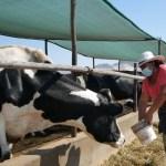 MIDAGRI implementa programa para reactivación de sector ganadero lechero del país
