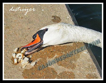 Cisne comiendo